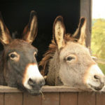 Essential Lessons from Balaam's Demise - Weekly Blog Post by Dr. Craig Biehl - dark brown and grey donkeys with heads over a fence