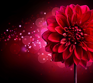 Gleanings from The Religious Affections (Part 25): Distinguishing Sign Ten: Gracious Affections Have a Beautiful Symmetry - Weekly Blog Post by Dr. Craig Biehl - red Dahlia flower
